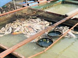 Nguy cơ cá bè chết hàng loạt trên sông Đồng Nai
