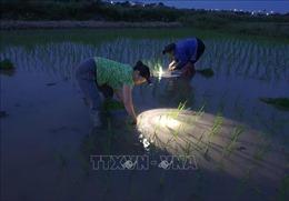 Nông dân Nam Định đeo đèn cấy lúa giữa đêm tránh nắng nóng gay gắt