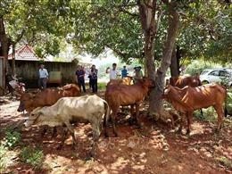 Trao bò giống sinh sản cho hộ đồng bào thiểu số nghèo