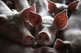 Đức phát hiện trường hợp lợn rừng nghi nhiễm dịch tả lợn châu Phi