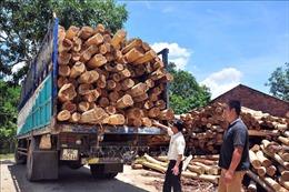 Tạo nguồn nguyên liệu gỗ chất lượng - Bài 1: Lợi ích kép từ rừng gỗ lớn