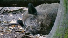 Bang thứ hai ở Đức phát hiện bệnh tả lợn châu Phi