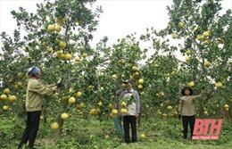 Thu nhập tiền tỷ từ trồng bưởi hữu cơ