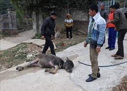 Hơn 90 con gia súc tại Điện Biên bị chết do rét đậm, rét hại