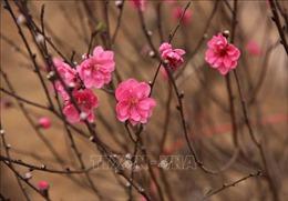 Hoa đào Mỹ Hào khoe sắc đón Tết