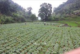 Triển vọng mới từ loại cây trồng thích nghi với khí hậu vùng cao