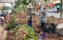 Dịch chuyển hơn 2.000 cây xanh để thi công dự án xử lý nước thải Yên Xá