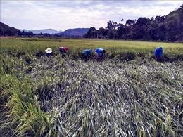 Lốc xoáy tại Hà Tĩnh, hàng trăm héc ta lúa bị ngã đổ