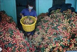Bắc Giang: Vải thiều sớm Lục Ngạn không có giá 2.000 đồng/kg