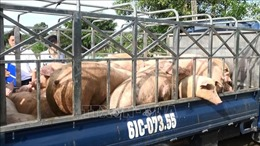 Bình Dương tiêu hủy gần 1,5 tấn lợn thịt có chất cấm