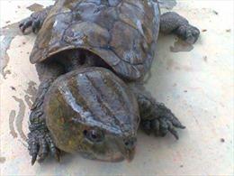 Cấp thiết ngăn chặn gây nuôi thương mại rùa đầu to