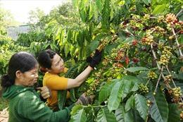 Giảm nước tưới, thay giống mới để phát triển cà phê bền vững