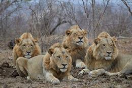 Sư tử lấy mạng nghi phạm săn trộm sừng tê giác