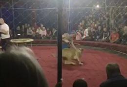 Bàng hoàng cảnh sư tử rạp xiếc ngoạm bé gái 4 tuổi