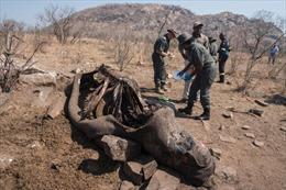 Trung Quốc khôi phục lệnh cấm dùng sừng tê giác, xương hổ trong Đông y