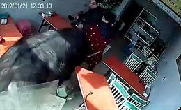 Trâu xổng từ lò mổ đuổi theo người phụ nữ váy đỏ, phá tung nhà hàng