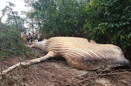 Kỳ bí chuyện xác cá voi 10 tấn lừng lững trong rừng Amazon
