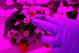Singapore làm cách mạng nông nghiệp trên mái nhà, trong phòng thí nghiệm