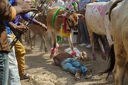 Người Ấn Độ nằm sấp để cả đàn bò giẫm đạp lên người