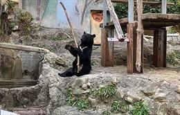 Gấu đen múa gậy 'mở mang tầm mắt' khán giả Nhật Bản