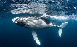 Một chú cá voi có giá trị bằng hàng nghìn cây xanh