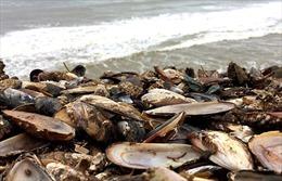 Nhiệt độ nước biển tăng, nửa triệu chú trai biển bị 'luộc chín' dạt vào bờ
