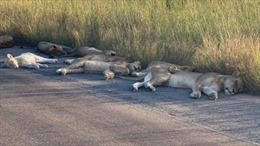 Công viên quốc gia Nam Phi đóng cửa vì COVID-19, sư tử tràn ra đường ngủ trưa