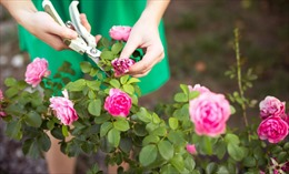 Nhật Bản hủy hàng nghìn bông hoa hồng, tulip để tránh tụ tập đông người mùa dịch COVID-19