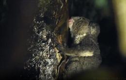 Phát hiện bất ngờ loài koala uống nước từ cây