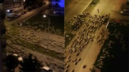 Hàng trăm con cừu 'xâm chiếm' thành phố đang bị phong tỏa vì COVID-19