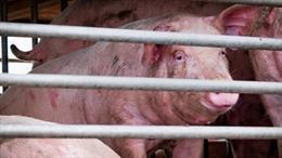 Phát hiện chủng virus cúm lợn mới có thể trở thành đại dịch ở Trung Quốc