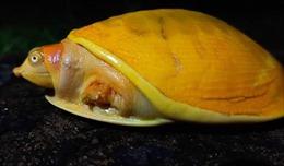 Phát hiện rùa vàng hiếm có tại Ấn Độ