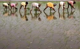 COVID-19 thúc đẩy cuộc cách mạng trên cánh đồng lúa Ấn Độ