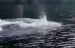 Kỳ lạ cảnh cá sấu khổng lồ bơi như cá heo