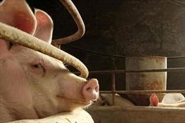 Nghi vấn vaccine không phép làm bùng phát virus tả lợn châu Phi tại Trung Quốc