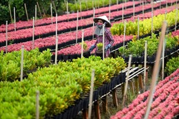 Làng hoa Tết Việt Nam dưới ống kính phóng viên nước ngoài