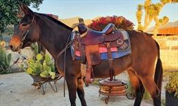 Giống lừa mới 'đẹp mã' tại Mexico