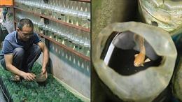 Truyền thông Pháp đưa tin về cách nuôi cá chọi độc đáo ở Việt Nam