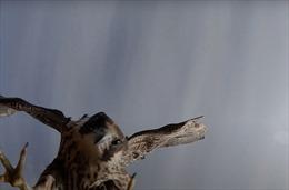 Video chim ưng hạ gục 'con mồi' máy bay không người lái