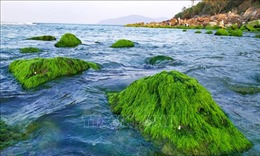 Đẹp lạ mùa rêu xanh mướt ở rạn đá Nam Ô