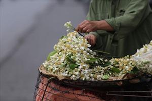 Tháng hai, hoa bưởi nồng nàn những góc phố Hà Nội