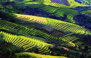 Đắm mình trong 'mùa vàng' Bắc Yên