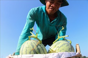 Niềm vui của người trồng dưa hấu vụ Tết ở Hậu Giang