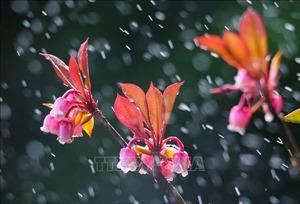 Hoa đào chuông khoe sắc trên đỉnh Bà Nà