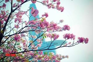 Hoa kèn hồng rực rỡ 'đốn tim' người đi đường ở TP Hồ Chí Minh
