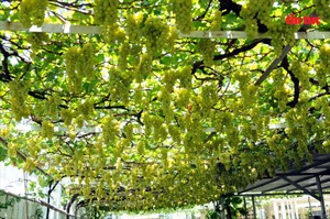 'Đã mắt' với vườn nho sai trĩu quả ở TP Hồ Chí Minh