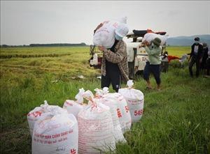 Thanh niên tình nguyện giúp nông dân Bắc Giang thu hoạch lúa xuân