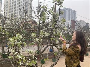 Những cành hoa lê rừng xuống phố thu hút người dân Thủ đô