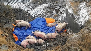 Phát hiện hai ổ dịch tả lợn châu Phi