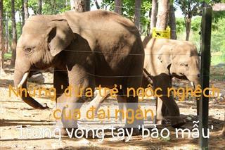 'Truyền thuyết' có thật về cứu hộ voi hoang dã